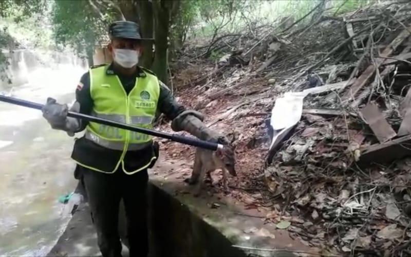 Policía rescata un zorro que estaba atrapado en una quebrada de Girón